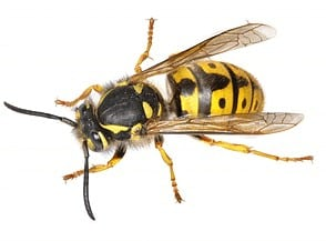 pest control for Bees and Wasps