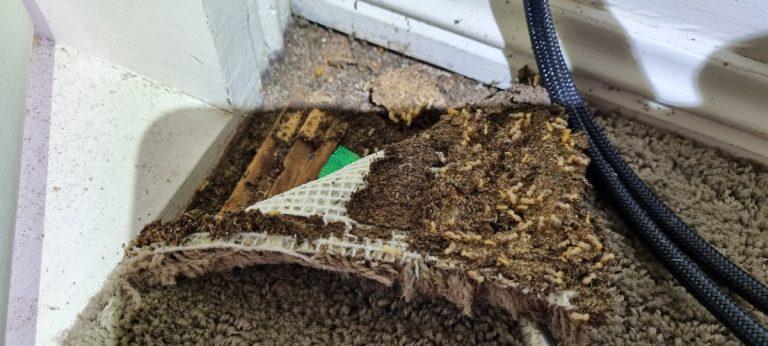 termites under the carpet