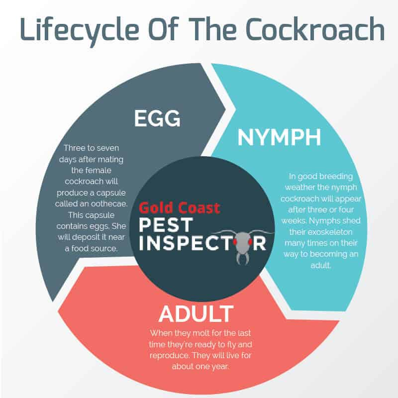 cockroach life cycle infographic