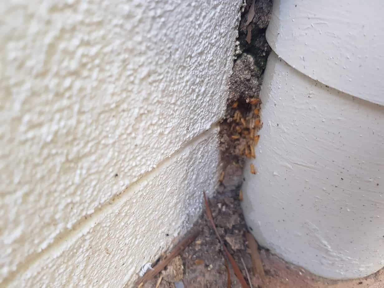 white ants