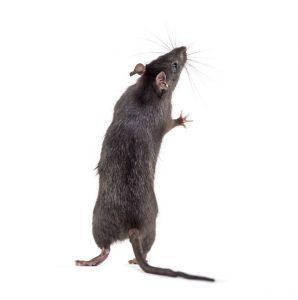 Rats cause disease