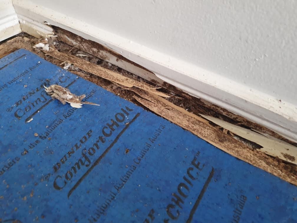 termite evidence under carpet