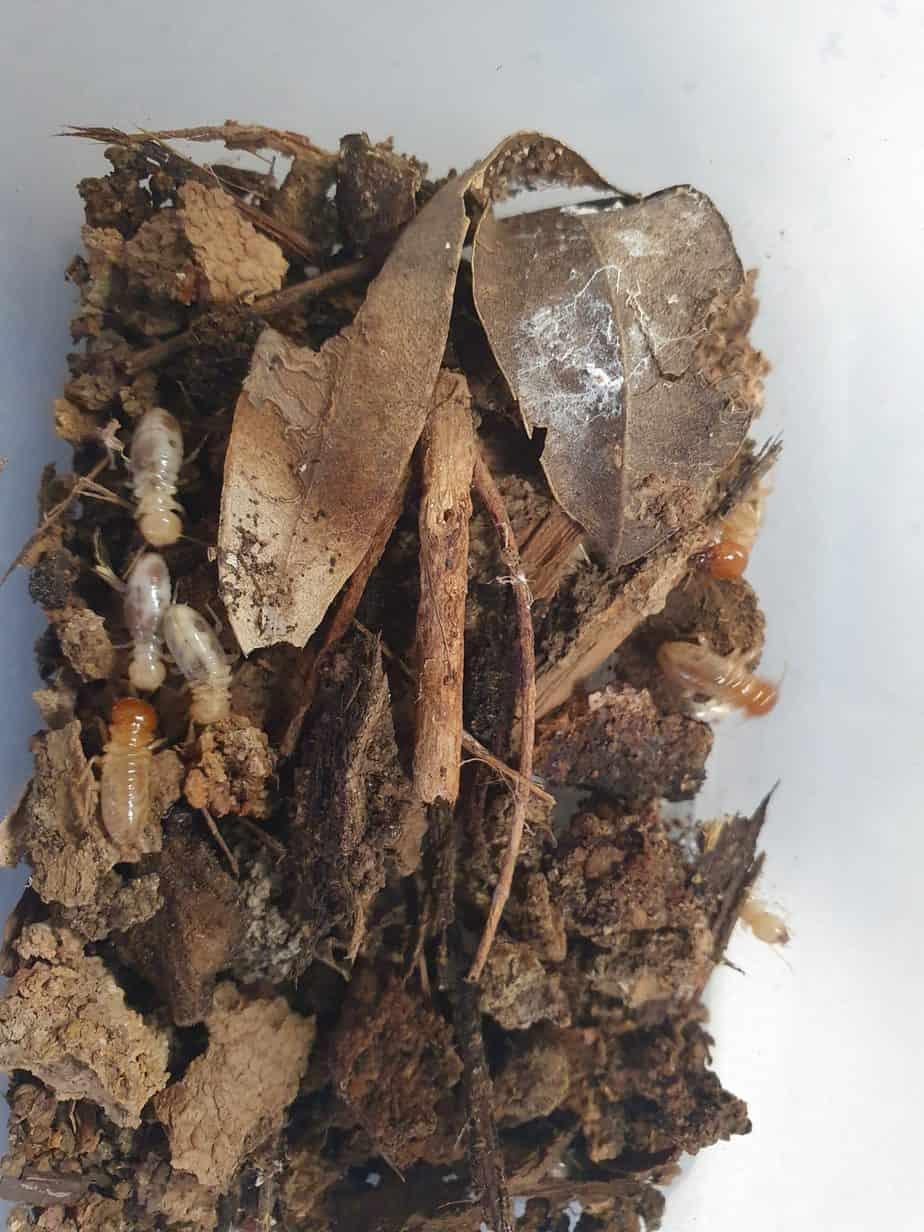 super termite