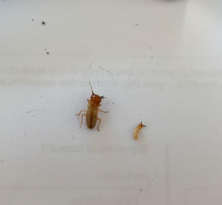 darwin termite vs normal termite