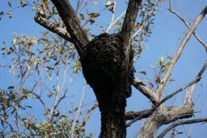 termite nest in Queensland