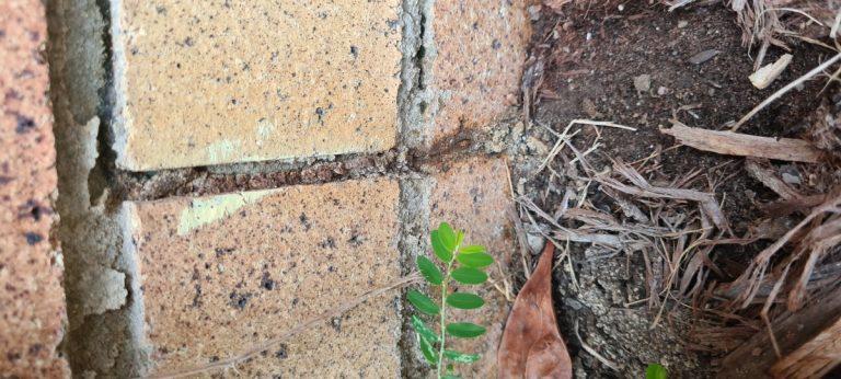 Active termite lead climbing up brickwork